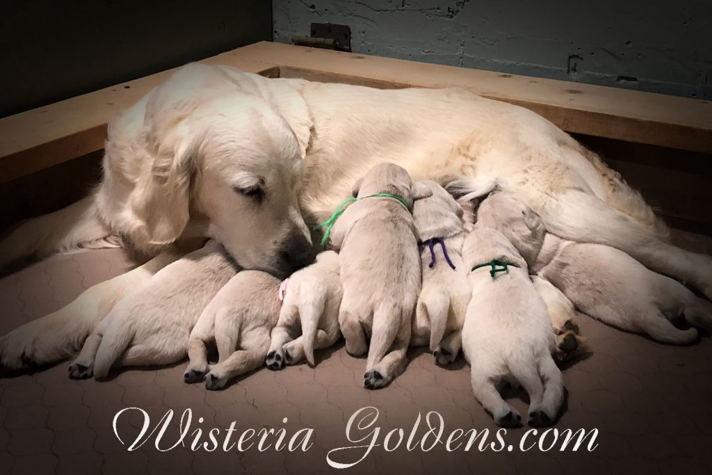Sunny/Ego– Litter Born 01/07/2018. 4 girls and 3 boys. English Cream Golden Retriever puppies for sale. Wisteria Goldens Bred with