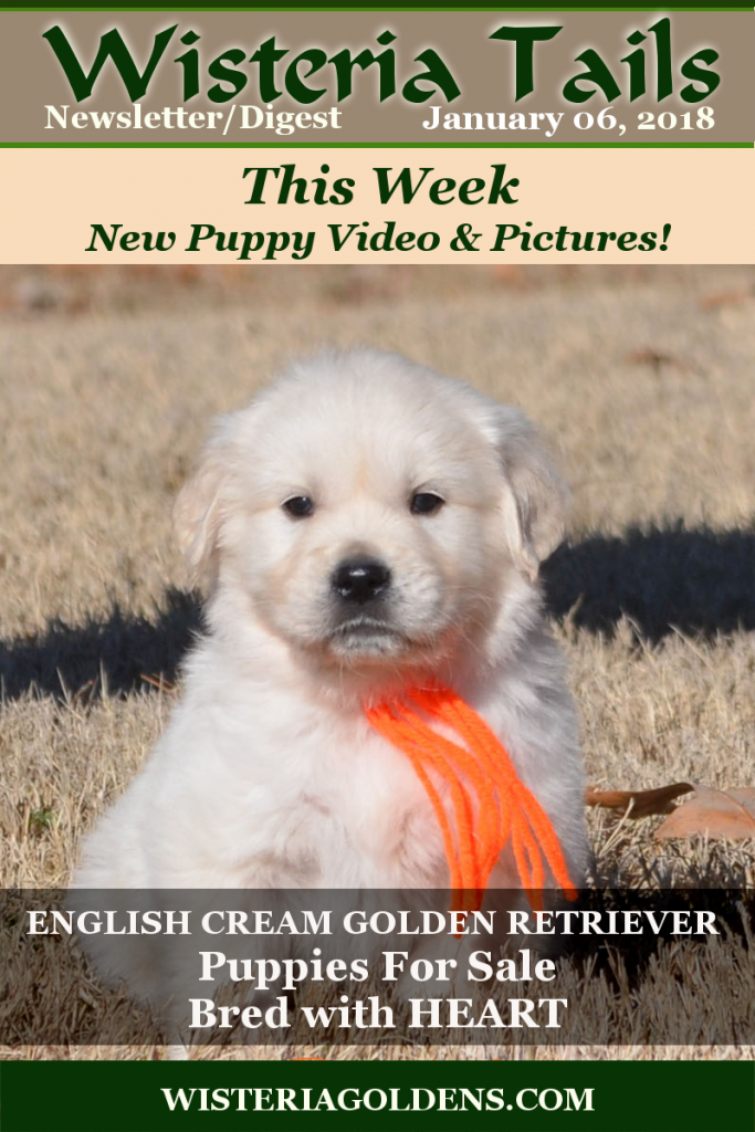 Wisteria Tails Highlights 01-06-2018 This week in our Wisteria Tails Highlights 01-06-2018 Newsletter/Digest Online Version – Angel Litter Six Week Pictures and Playtime Video, – Family Holiday Photos, – Jazz Litter Five Week Pictures (coming Sunday), and –Ranch News: New Year's Eve Baby. #wisteriatails #englishcreamgoldenretriever #puppiesforsale #TrainedPuppyForSale #AdultDogForSale #BREDwithHEART #WisteriaGoldens #SunnyLitter #January2018Cover #upcomingLitters #PlannedLitters #EgoLitter #SailorLitter #ChanceLitter #AngelLitter #JazzLitter
