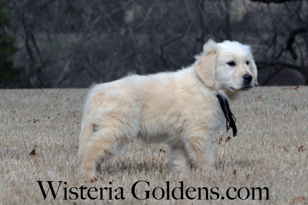 Angel Litter Born 11-24-2017 Angel/Chance English Cream Golden Retriever puppies for sale. Wisteria Goldens are Bred with Heart (AKC H.E.A.R.T.). Puppy ready for forever home now. Twelve (12) week puppy pictures.