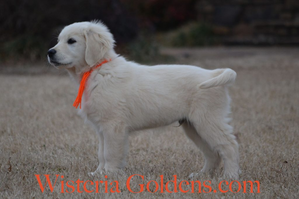 Trained Puppies English Cream Golden Retriever puppies for sale Wisteria Goldens Bred with H.E.A.R.T.