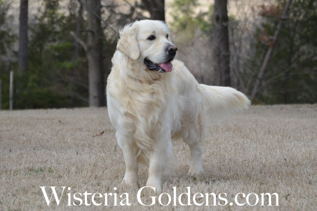 Chance Believe in love of Clear Passion Wisteria Goldens Our Boys