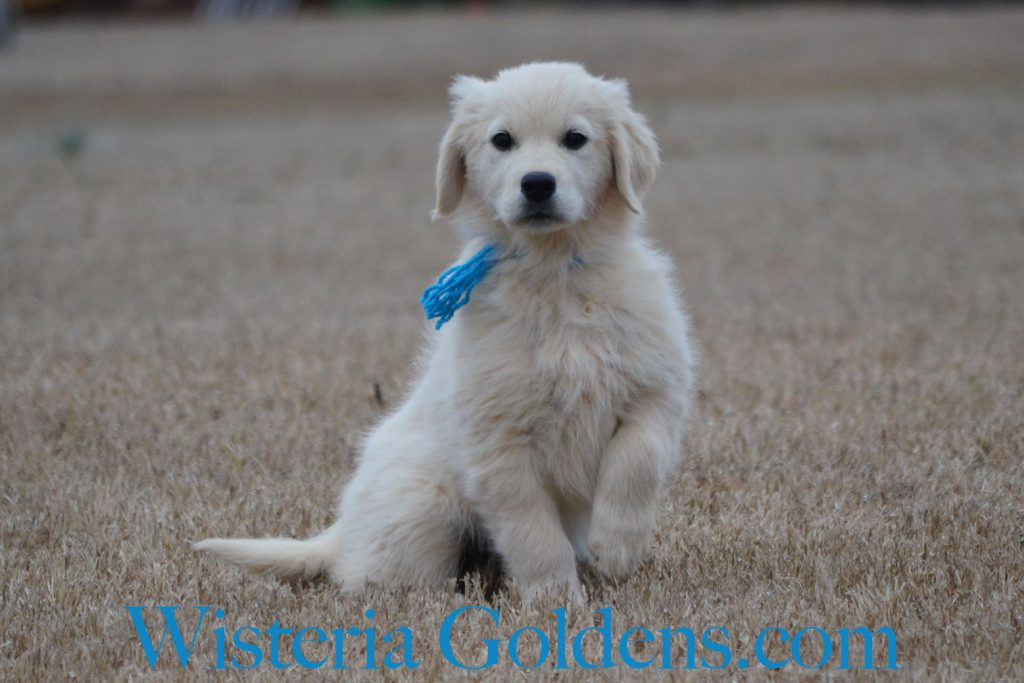 trained puppies Chloe (Jazz/Ego Born 12-03-2017 Teal Girl) English Cream Golden Retriever Trained Puppies for sale Wisteria Goldens Bred with H.E.A.R.T.