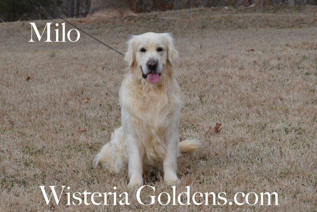 English Cream Golden Retriever Dogs for Sale Wisteria Goldens Milo