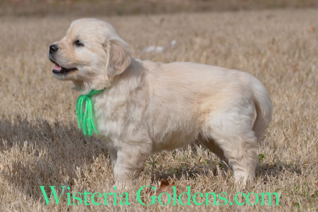 Sunny Litter Born 01-07-2018 Six Week Pictures English Cream Golden Retriever puppies for sale. Wisteria Goldens Bred with HEART.
