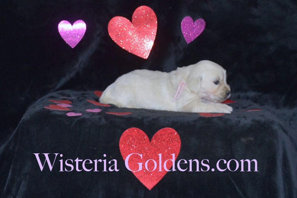 Sunny Litter Born 01-07-2018 Four Week Pictures English Cream Golden Retriever puppies for sale Wisteria Goldens Sunny Litter Ego Litter