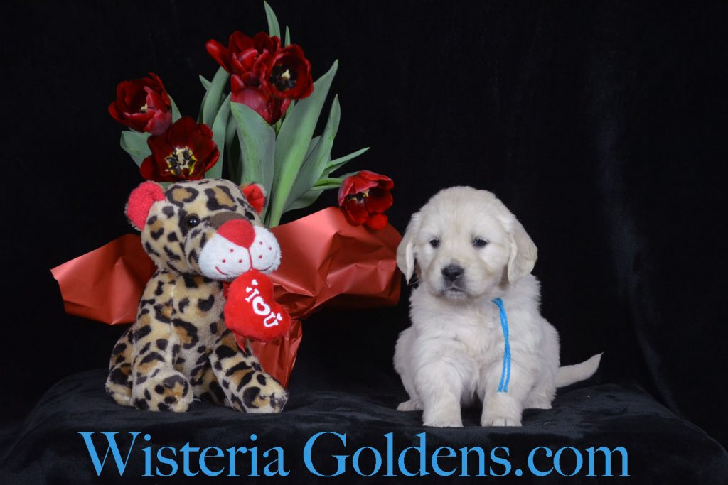 Sunny Litter Born 01/07/2018. Sunny/Ego. 4 girls and 3 boys. English Cream Golden Retriever puppies for sale Wisteria Goldens Bred with H.E.A.R.T.