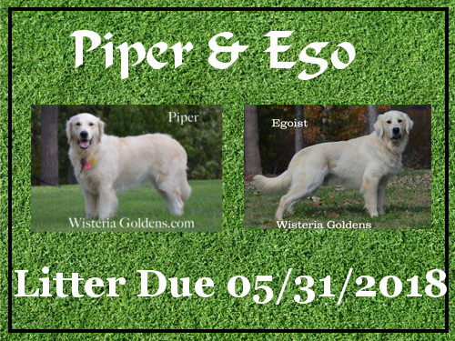 available puppies Piper/Ego Litter Due 05/31/2018 Wisteria Goldens English Golden Retriever puppies for sale BRED with HEART