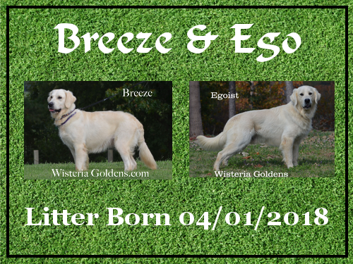 available puppies Breeze Litter born 04-01-2018 2 males. all puppies are spoken for. Wisteria Goldens English Cream Golden Retriever