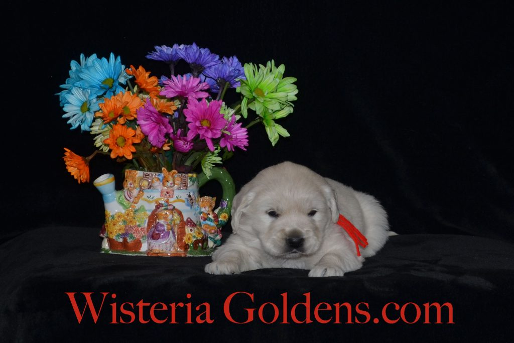 Breeze Litter Born 04-01-2018 Breeze/Ego 2 Boys. English Golden Retriever (English Cream) Puppy Pictures. Wisteria Goldens English Golden puppies for sale. BRED with H.E.A.R.T.
