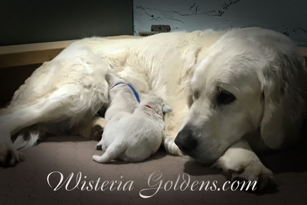 Breeze Litter Born 04-01-2018 English Cream Golden Retreiver puppy pictures. Wisteria Goldens Bred with HEART Breeze/Ego Litter