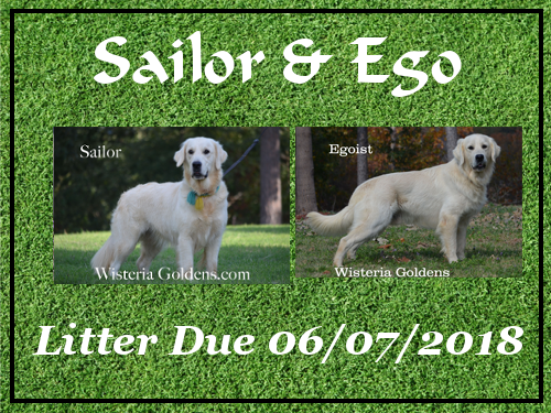 Available Puppies Sailor/Ego Litter Due 06-07-2018 Wisteria Goldens English Cream Golden Retriever puppies for sale