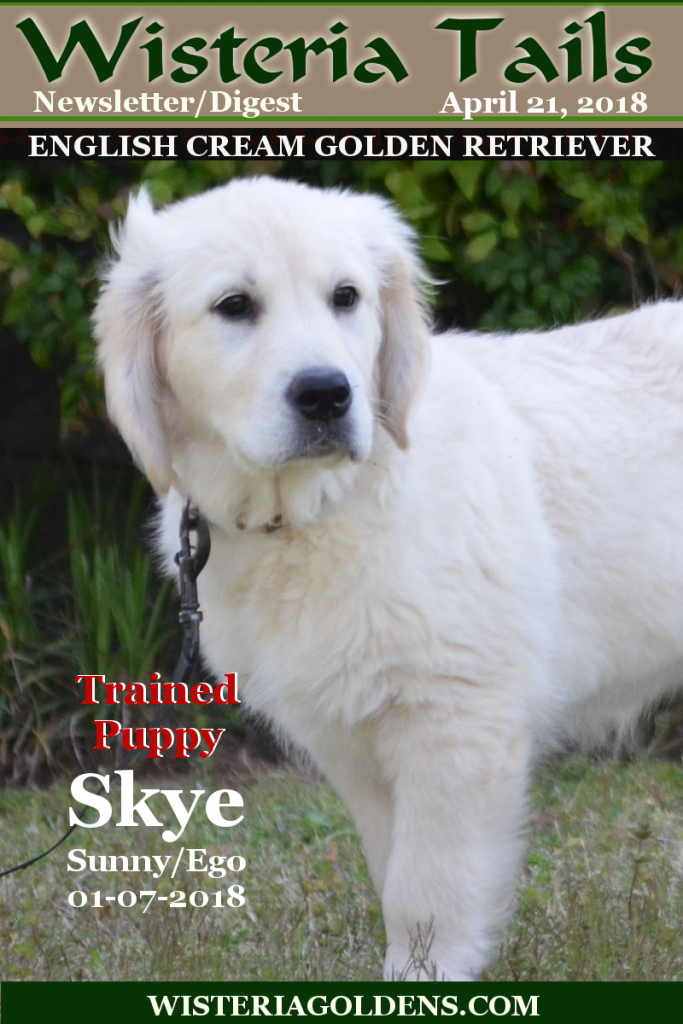 Wisteria Tails Highlights 04-21-2018 Newsletter/Digest Online Version – Skye--Trained Puppy for sale, – Abby--Adult Dog for sale, – Availability updates, and – Ranch News. #wisteriatails #englishcreamgoldenretriever #puppiesforsale #expen #crate #BREDwithHEART #WisteriaGoldens #April2018Cover  #upcomingLitters #PlannedLitters #BreezeLitter #PiperLitter #SailorLitter #Abby #Skye #Milo