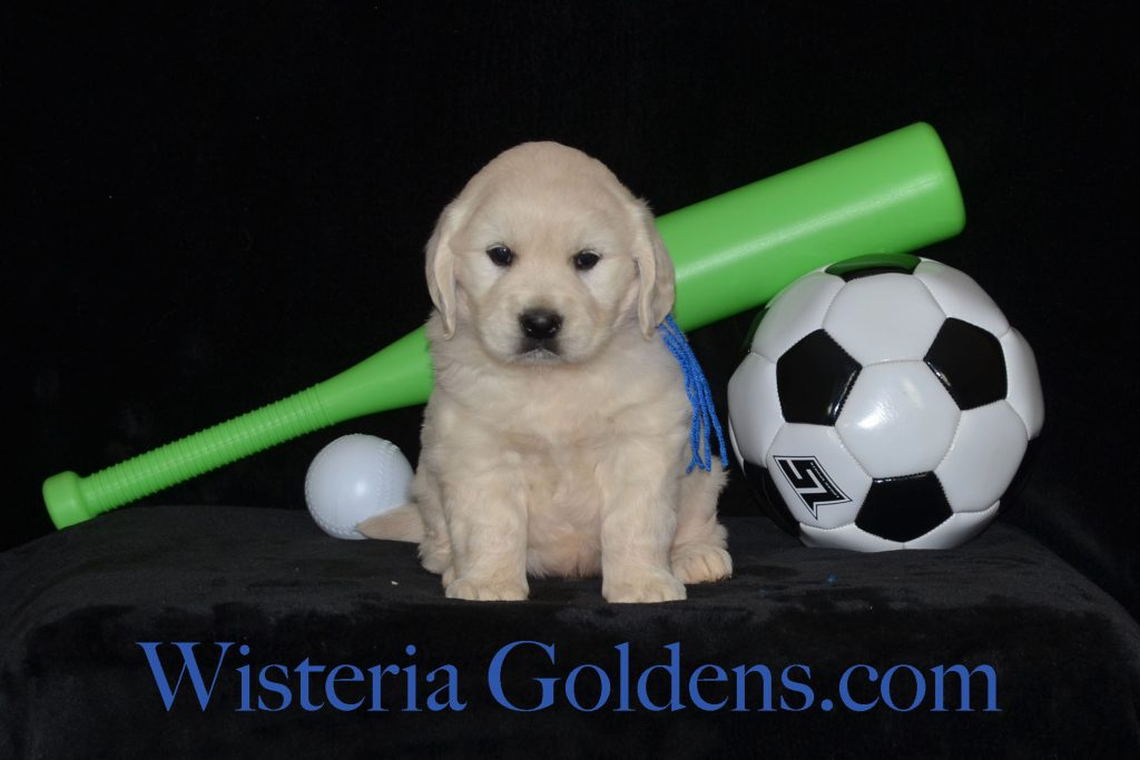 Breeze Litter Born 04-01-2018 Five Week Pictures. English Golden Retriever puppies. Wisteria Goldens. BREDwithHEART