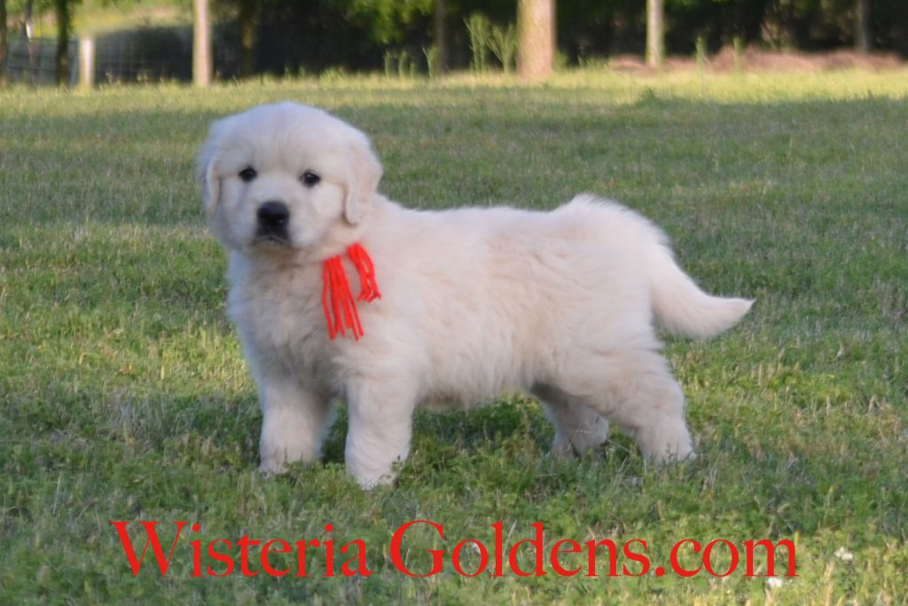 Breeze Litter Born 04-01-2018 Six Week Pictures. Wisteria Goldens. English Golden Retreivers (also known as English Cream). BRED with H.E.A.R.T. #BreezeLitter #WisteriaGoldens