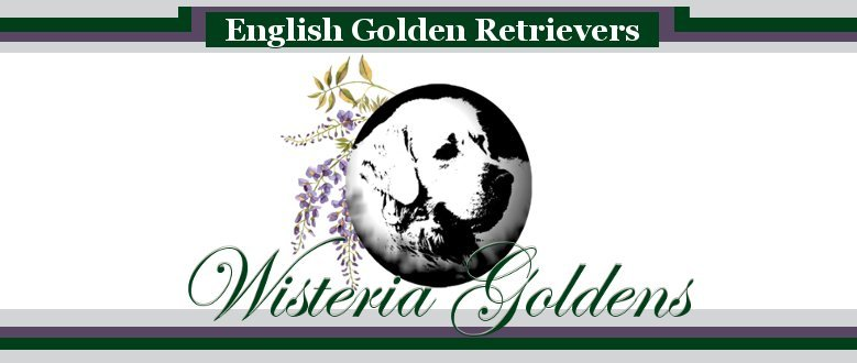 Available Puppies Wisteria Goldens English Cream Golden Retriever Puppies for Sale. Bred with H.E.A.R.T. English Golden Retreivers