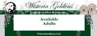 Our Dogs - Available Adults English Golden Retriever Wisteria Goldens English Cream