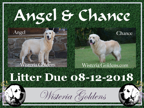 English Cream Golden Retriever Available Puppies Angel and Chance litter due 08-12-2018 Wisteria Goldens