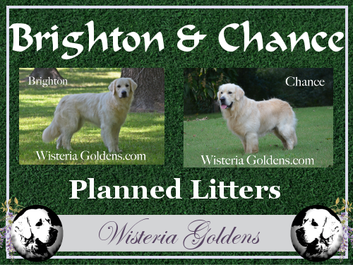 English Cream Golden Retriever Puppies for sale Upcoming and Planned Litters Brighton and Chance