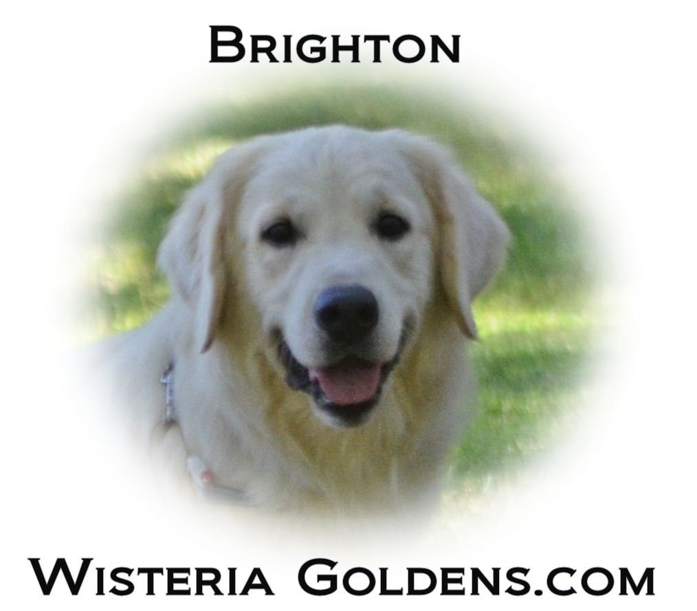 Brighton English Golden Retriever