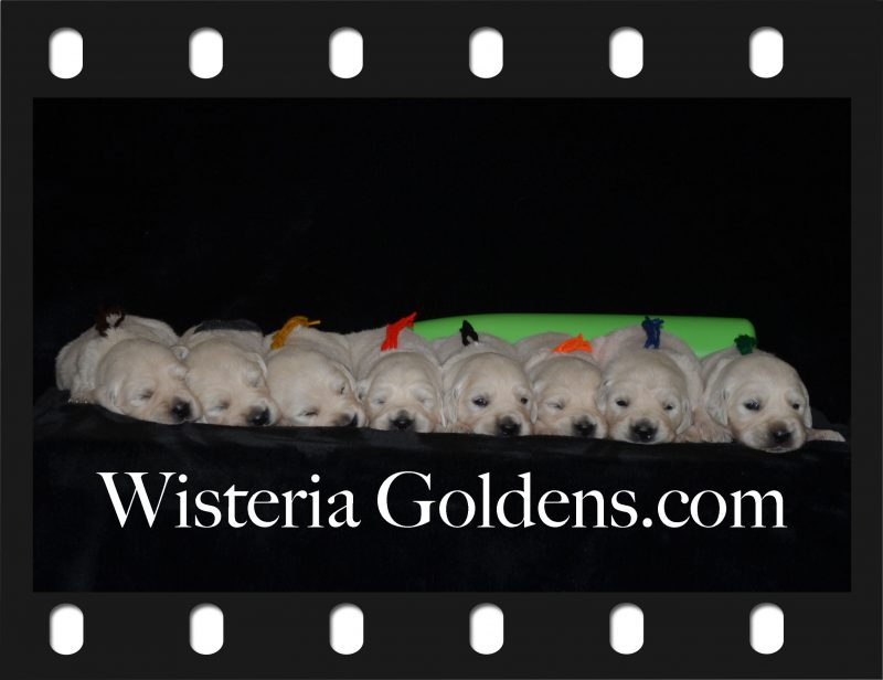 Sailor Litter Born 06-05-2018 Three Week Puppy Pictures Wisteria Goldens English Cream Golden Retriever Puppies Bred with H.E.A.R.T.