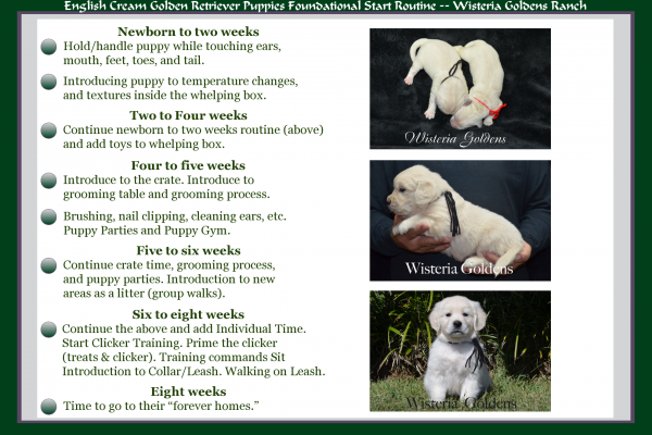 English Cream Golden Retriever Puppies Foundational Start Routine at Wisteria Goldens Ranch