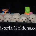 Featured This Month Puppy Buying Process - In image is Piper Litter Four Week Puppy Pictures Wisteria Goldens English Cream Golden Retriever Puppies Bred with H.E.A.R.T.