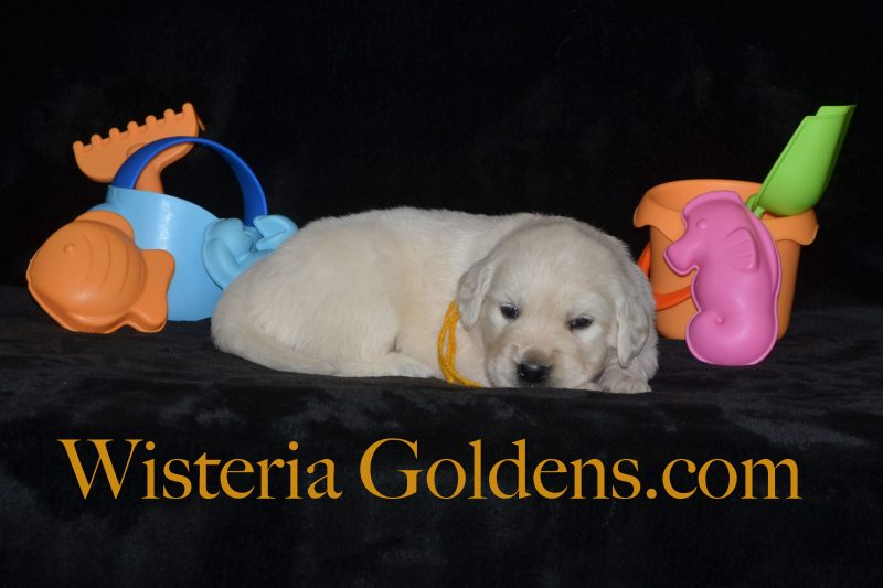 Piper Litter Born 05-29-2018 Four Week Puppy Pictures Wisteria Goldens English Cream Golden Retriever Puppies Bred with H.E.A.R.T.