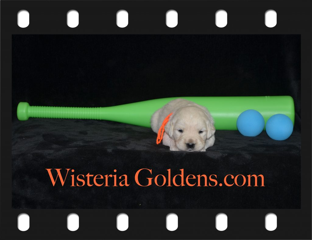 Piper Litter Born 05-29-2018 Piper/Ego Three Week Pictures Wisteria Goldens English Cream Golden Retriever Puppies for Sale English Golden Retriever Puppies Bred with HEART