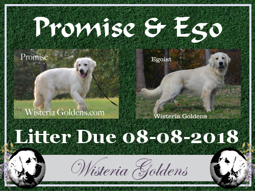 English Cream Golden Retriever Available Puppies Wisteria Goldens Promise and Ego Litter due 08-08-2018 BRED with HEART