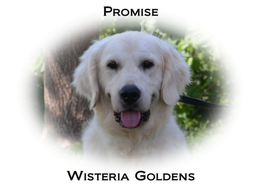 Our Dogs Promise English Golden Retriever Wisteria Goldens Our Dogs
