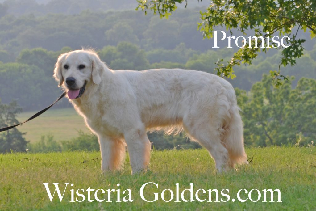 Promise English Golden Retriever Wisteria Goldens Our Dogs
