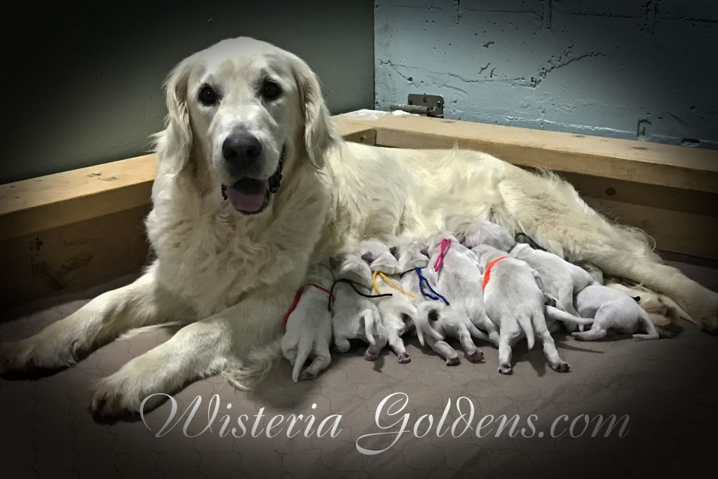 Sailor litter born 06-05-2018 Sailor/Ego Litter. 1 girls and 8 boys.