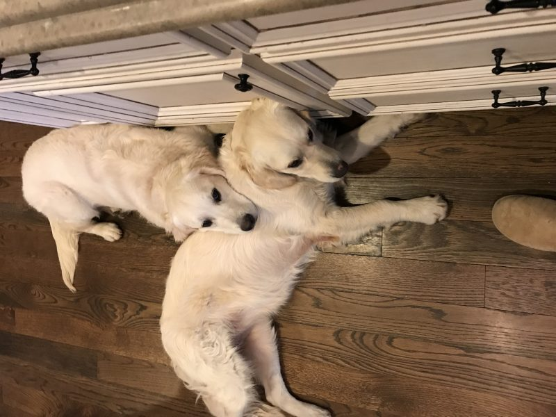 english cream golden retriever puppies happy families updates Allie and Ruby