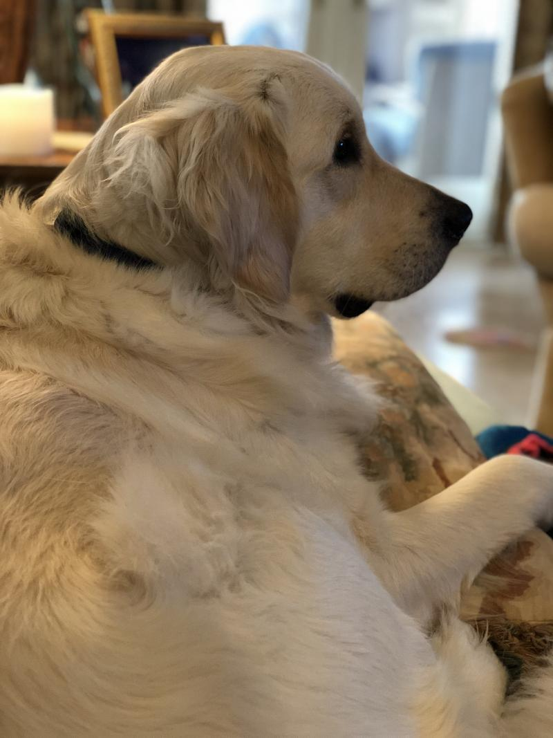 English Cream Golden Retriever puppies update from Happy Families Bentley Sunny/Thor Brown Boy pictures