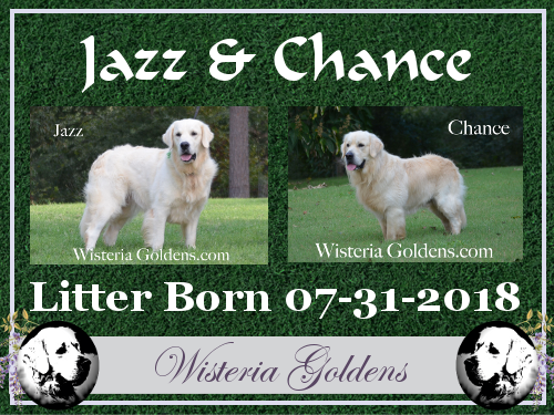 Jazz Litter Born 07-31-2018 English Cream Golden Retriever Puppies for Sale Wisteria Goldens Bred with H.E.A.R.T.