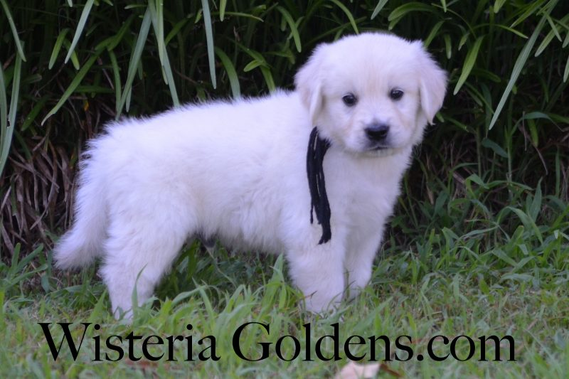 Piper Litter Born 05/29/2018. Wisteria Goldens English Cream Golden Retriever Puppies Six Week pictures and playtime video. Piper/Ego 3 Girls and 5 Boys. All puppies are spoken for. Bred with H.E.A.R.T. Registered AKC English Golden Retriever