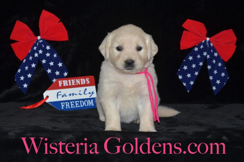 Piper Litter Born 05/29/2018 Piper/Ego – Litter Born 05/29/2018. 3 Girls and 5 Boys. All puppies are spoken for. English Cream Golden Retriever Puppies For Sale Information All Wisteria English Cream Golden Retriever puppies receive lots of love, attention, socialization, and are started on basic training. We provide a consistent routine for giving our English Cream Goldens a great foundational start in order to become the best possible member of your family. Bred with H.E.A.R.T. AKC Certified English Golden Retriever