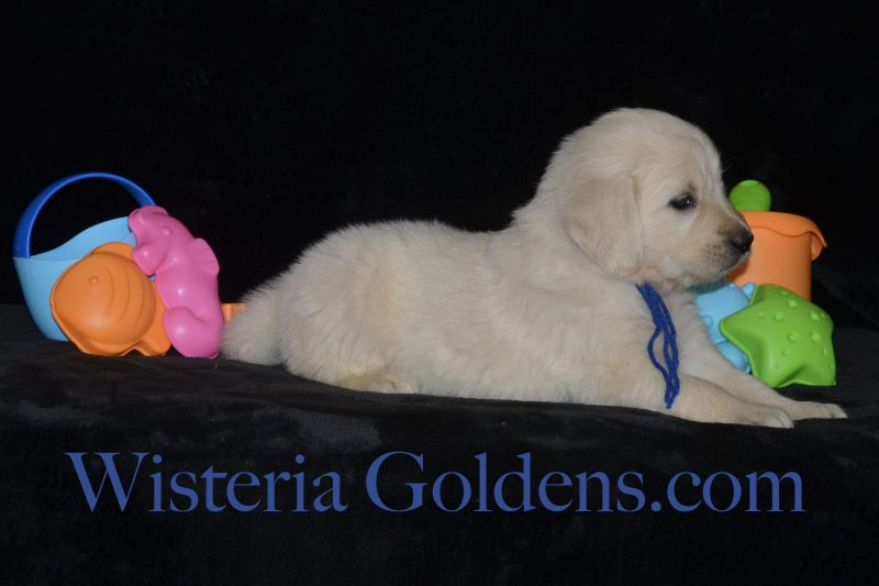 Sailor Litter Born 06-05-2018 Five Week Pictures Wisteria Goldens English Cream Golden Retriever Puppies for Sale Sailor/Ego 1 girl and 8 boys Bred with H.E.A.R.T. Registered AKC English Golden Retriever Pink Girl - 4.6 lbs Red Boy - 4.9 lbs Blue Boy - 5.0 lbs Green Boy - 5.1 lbs Black Boy - 4.3 lbs Orange Boy - 4.1 lbs Gold Boy - 4.4 lbs Brown Boy - 4.9 lbs Silver Boy - 5.3 lbs