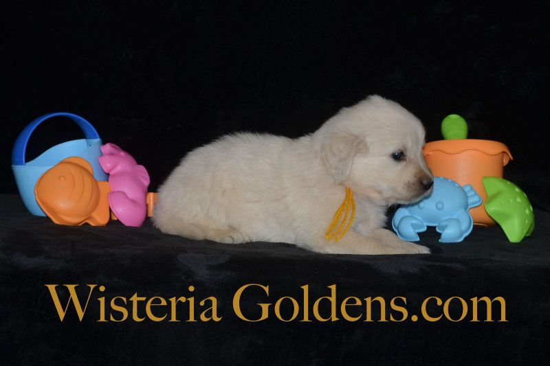 Sailor Litter Born 06-05-2018 Five Week Pictures Wisteria Goldens English Cream Golden Retriever Puppies for Sale Sailor/Ego 1 girl and 8 boys Bred with H.E.A.R.T. Registered AKC English Golden Retriever