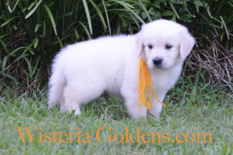 Sailor Litter Born 06-05-2018 English Cream Golden Retriever puppies for sale Wisteria Goldens English Goldens Bred with HEART one girl and eight boys Six Week pictures and playtime video