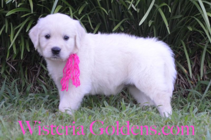 Sailor Litter Born 06-05-2018 English Cream Golden Retriever puppies for sale, Wisteria Goldens English Goldens Bred with HEART Six Week pictures and playtime video, availability update, current availability, visit the website for more information or contact us for most current puppies for sale information.