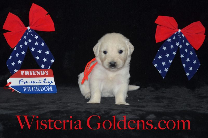 Sailor Litter Born 06-05-2018 Sailor/Ego – Litter Born 06/05/2018. 1 girl and 8 boys.English Cream Golden Retriever Puppies For Sale Information All Wisteria English Cream Golden Retriever puppies receive lots of love, attention, socialization, and are started on basic training. We provide a consistent routine for giving our English Cream Goldens a great foundational start in order to become the best possible member of your family. Bred with H.E.A.R.T. AKC Certified English Golden Retriever
