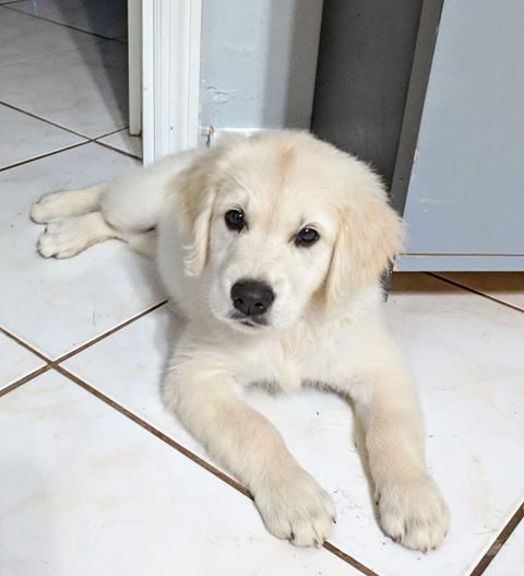 Abby Piper-Ego English Cream Golden Retriever Puppies Happy Families Wisteria Goldens Bred with H.E.A.R.T. Puppy Updates from Wisteria Goldens.