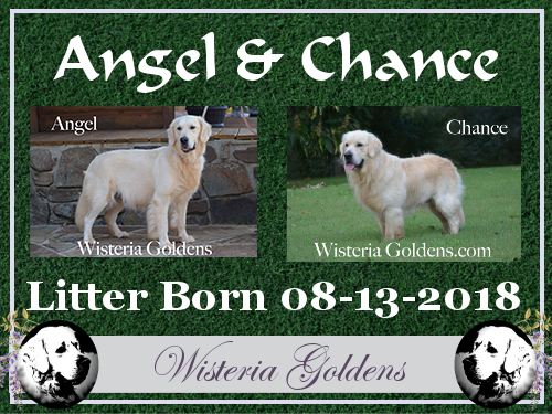 Angel Litter Born 08-13-2018 Angel/Chance– Litter Born 8/13/2018. 3 girls and 3 boys. English Cream Golden Retriever (AKC Registered) Puppies for Sale Wisteria Goldens Bred with H.E.A.R.T. AKC Certified Breeder Program