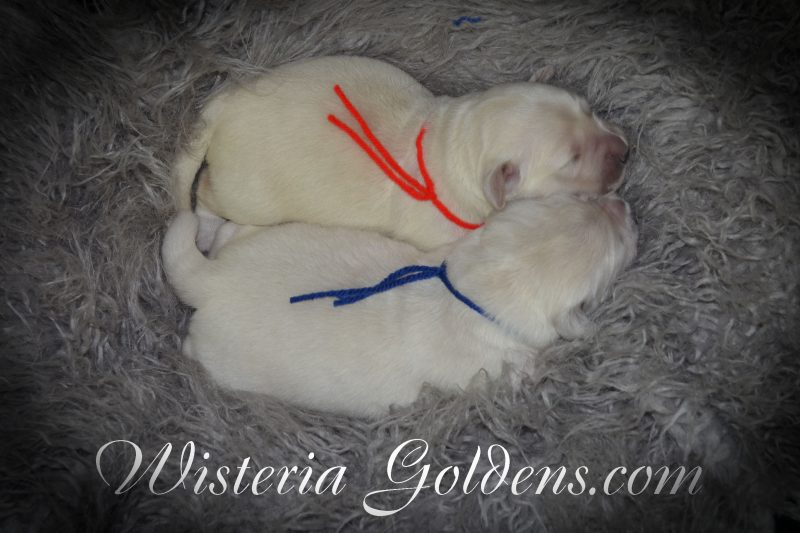 Angel Litter Born 8/13/2018. Angel/Chance – 3 girls and 2 boys. English Cream Golden Retriever Puppies for Sale Wisteria Goldens Bred with HEART (AKC Registered English Golden Retriever)