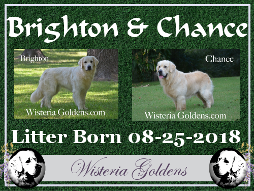 Brighton Litter Born 08-25-2018 Brighten/Chance English Cream Golden Retriever puppies for sale Wisteria Goldens Bred with HEART (AKC registered English Golden Retriever)