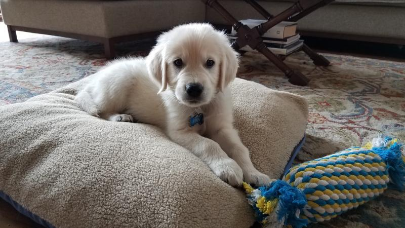 Finn english cream golden retriever, english cream golden retriever puppies, English Cream Golden Retriever Puppies Happy Families Wisteria Goldens Bred with H.E.A.R.T. Puppy Updates from Wisteria Goldens Families., Happy Families, wisteria goldens testimonial