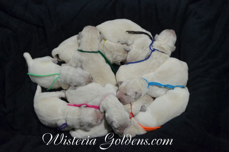 Jazz Litter Born 07-31-2018 English Cream Golden Retriever Puppies for Sale Wisteria Goldens Bred with HEART AKC Happy Families Updates on our website wisteriagoldens.com/happy-families