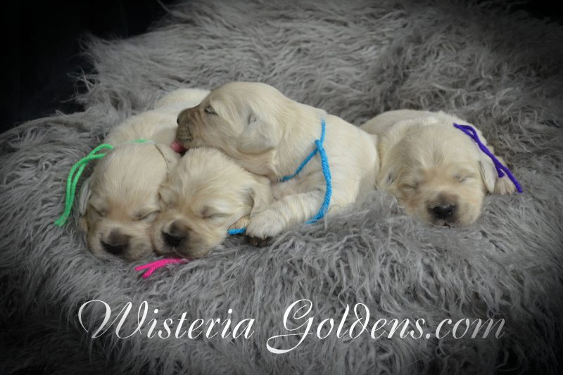 Promise Litter Born 08/06/2018 Promise/Ego – Litter Born 8/6/2018. 4 girls and 4 boys. English Cream Golden Retriever Puppies for Sale Wisteria Goldens Bred with HEART (AKC Registered English Golden Retriever)