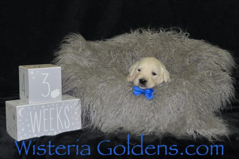 Promise Litter Born 08-06-2018 Promise/Ego - 4 girls and 4 boys. See available pictures on our website http://wisteriagoldens.com/…/promise-litter-born-08-06-2018/ English Cream Golden Retriever Puppies for Sale Wisteria Goldens Bred with HEART AKC English Golden Retrievers. http://wisteriagoldens.com/